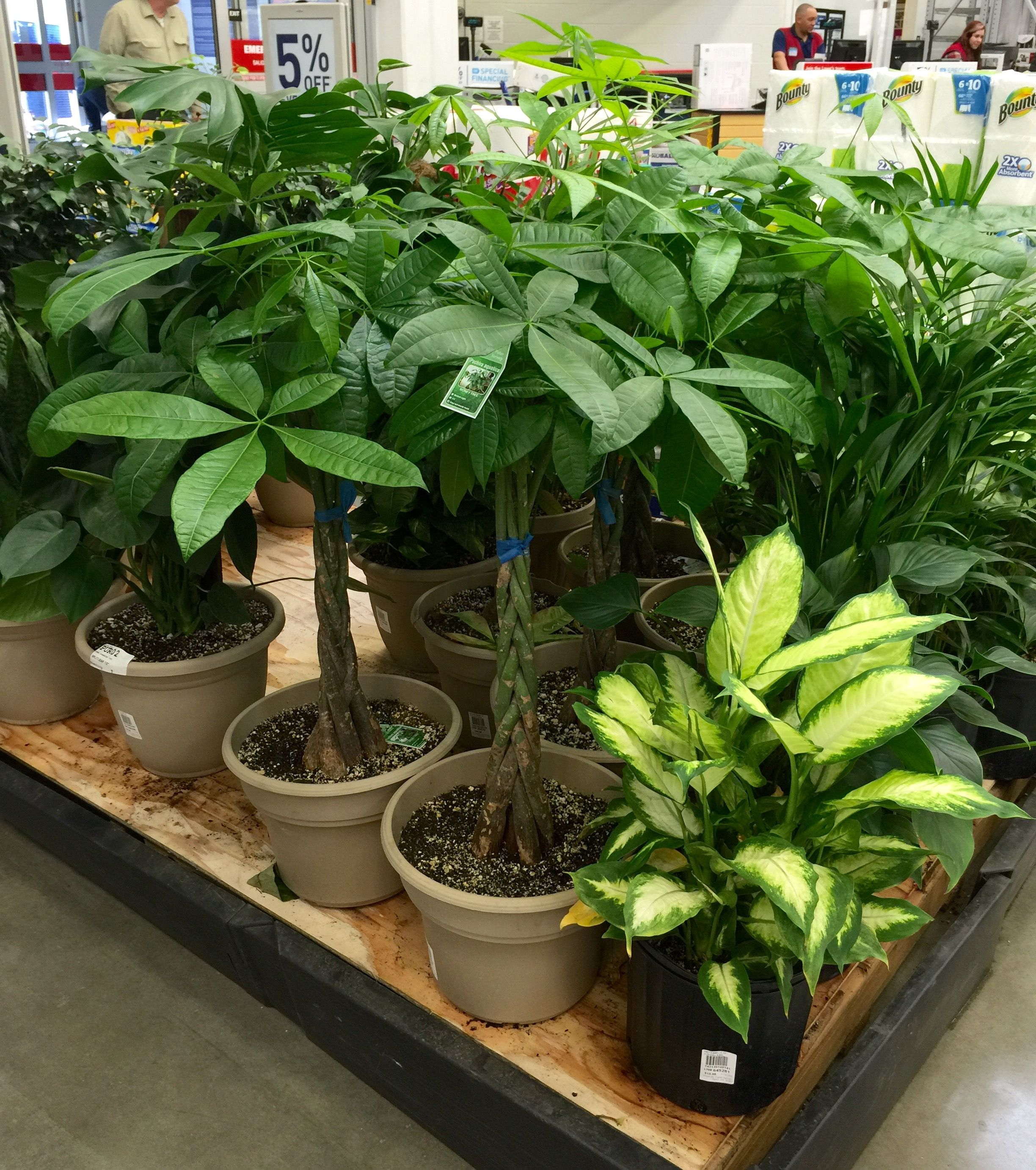Money Trees At Lowes