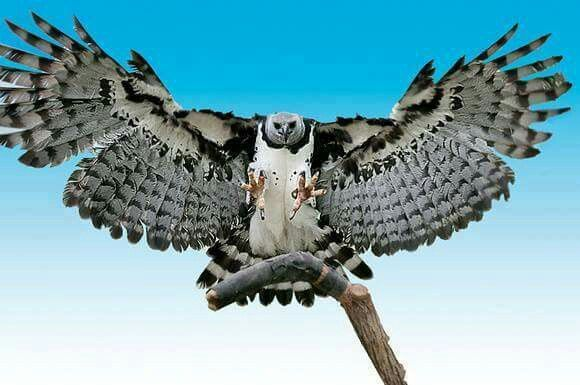 A Harpy Eagle: The Largest Eagle of All!