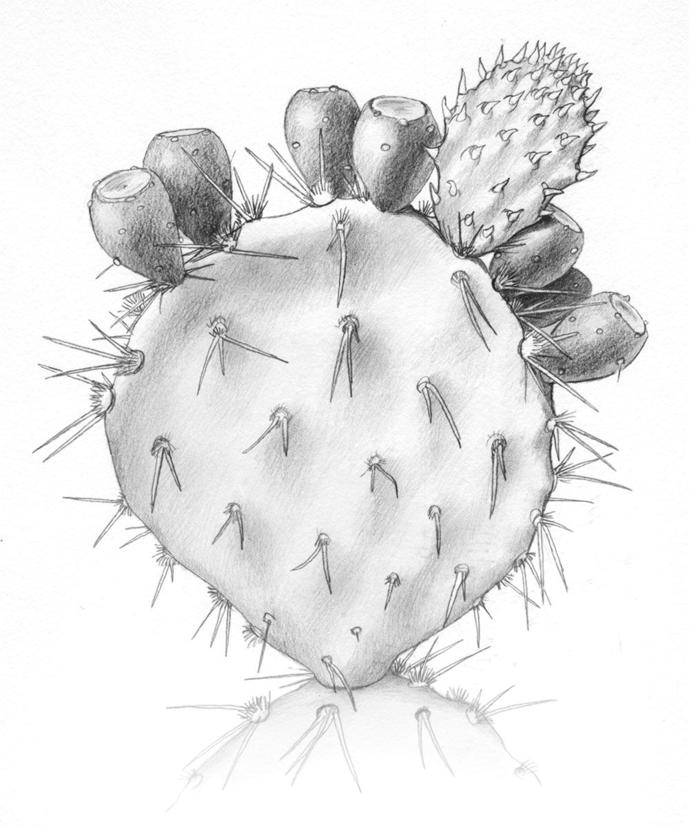 Prickly Pearcactus Art Drawings Pictures