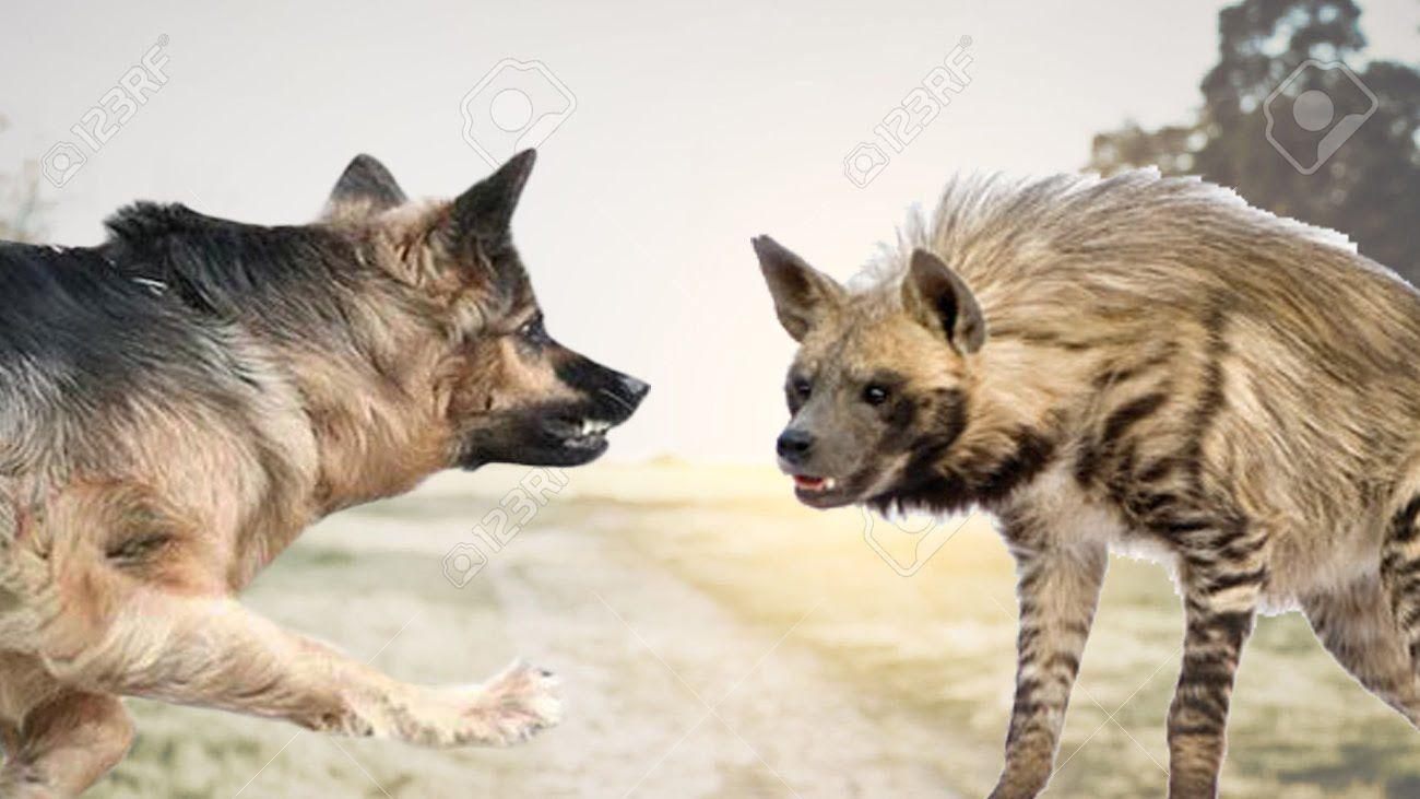 Striped Hyena Facts, Diet, Habitat, Pet, Fight, Body