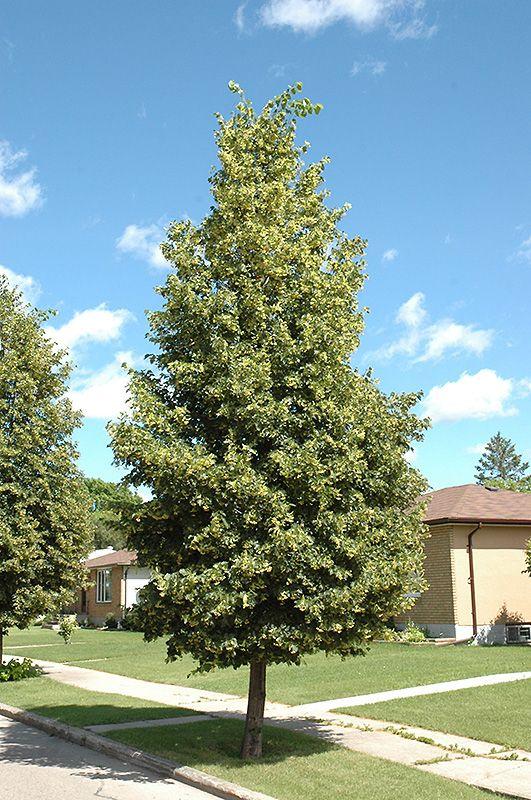 Greenspire linden tilia cordata 39 greenspire 39 at bachman for Garden deciduous trees