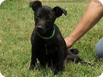 Petfinder Adoptable Rat Terrier Dog Watertown Ct Onyx Rat Terriers Rat Terrier Dogs Dog Adoption