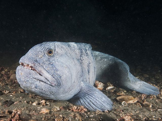 Atlantic Wolf Fish Weird Sea Creatures Fish Fish Pet