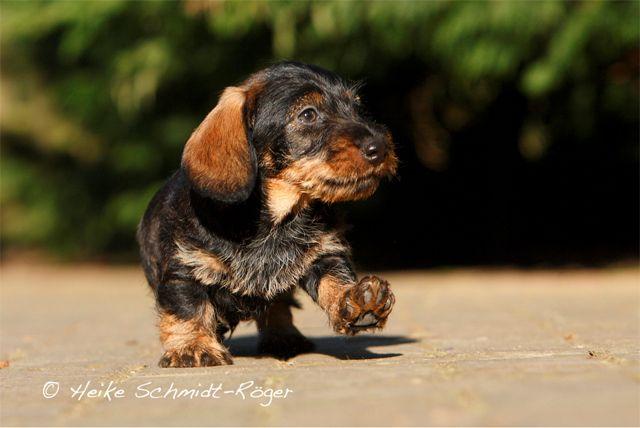 Langhaar Zwergdackel Longhaired Kaninchendackel Welpe Puppy