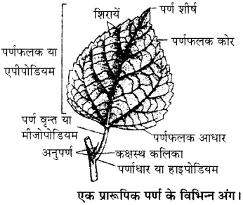RBSE Solutions for Class 11 Biology Chapter 19 पर्ण-बाह्य