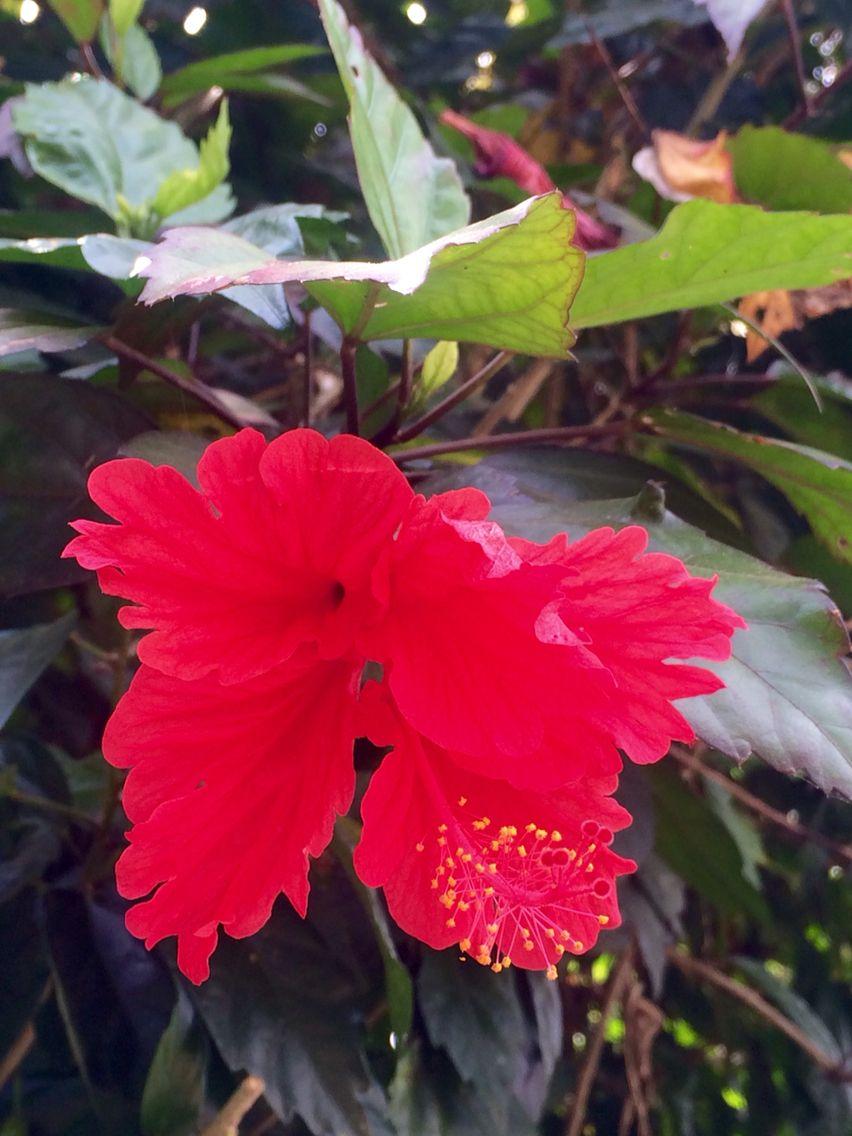 Exotic hibiscus flower in munnar india pinterest munnar and india exotic hibiscus flower in munnar izmirmasajfo