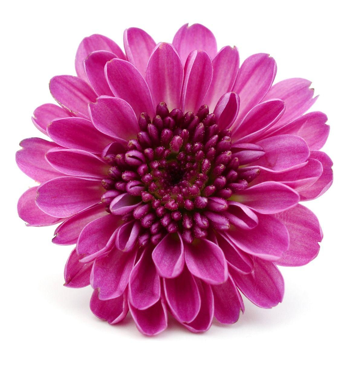 Wedding flowers chrysanthemum birthday month november colors florist naples fl flower delivery jardin floral design naples fl mightylinksfo Image collections