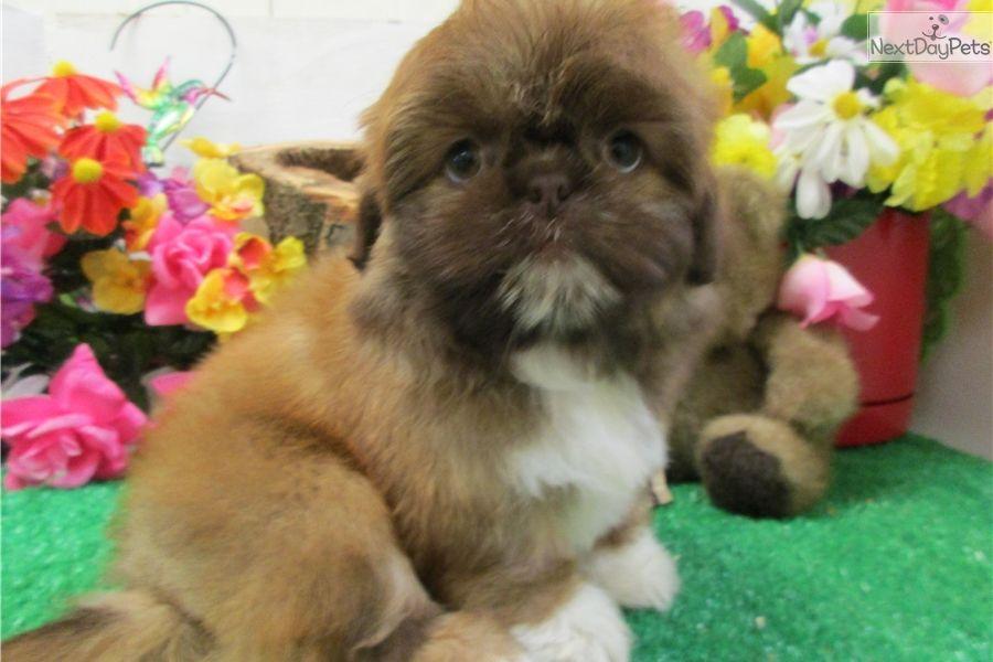 Shih Tzu Puppy For Sale Near Chicago Illinois Fb6e91c2 4841