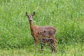Roe deer -Capreolus ca... - Fine Art prints