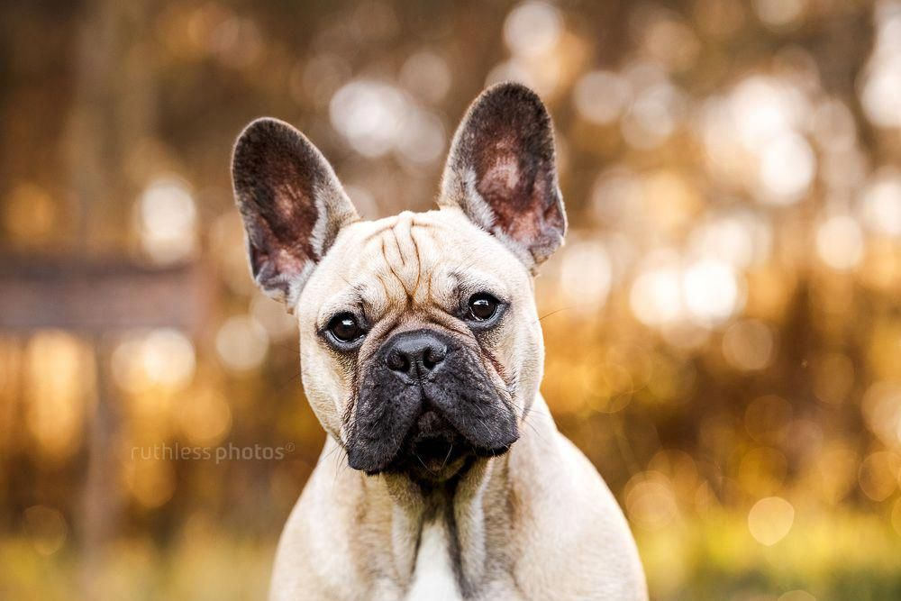 Everything About The Alert Frenchie Health Frenchbulldogsofinsta