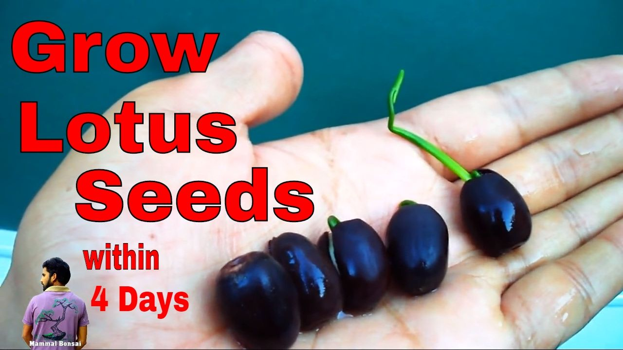 4 how to 4 how to grow lotus from seed izmirmasajfo