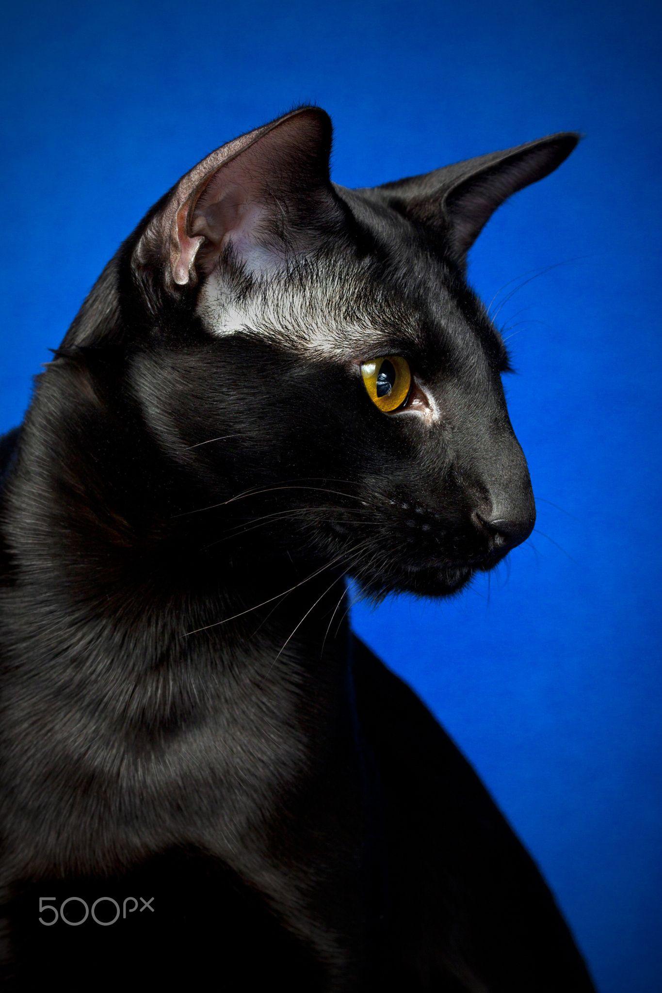 Beautiful black cat ️ Cats and kittens, Dog cat