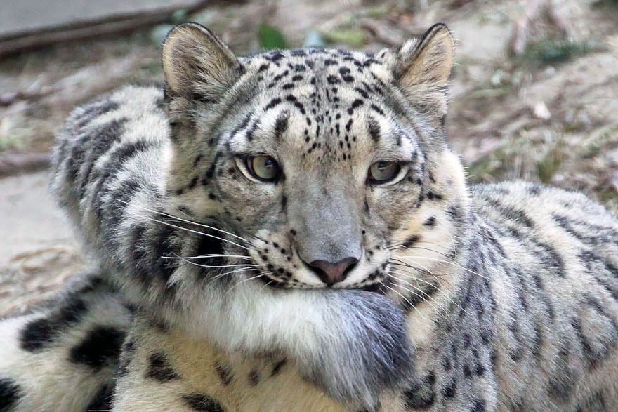 Why Do Snow Leopards Bite Their Tails 2 1 Snow Leopard Leopards Big Cats