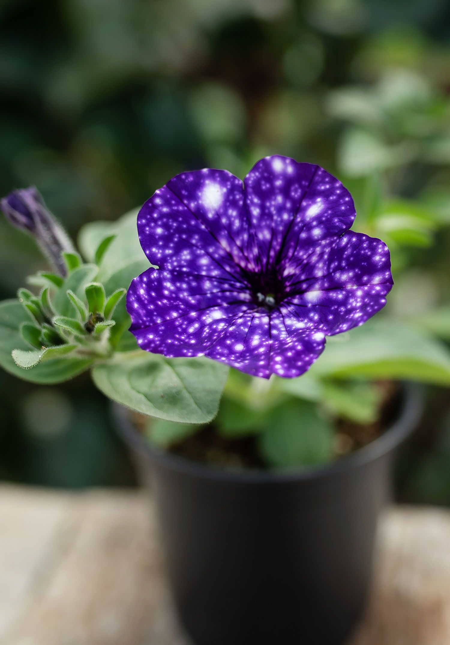 Petunia Night Sky A Celebrity That Loves The Night Scene The