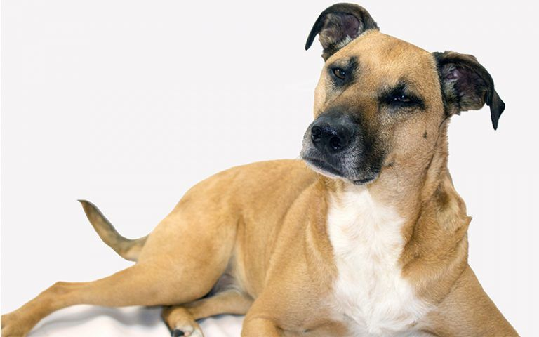 The Black Mouth Cur - A Complete Guide To A Versatile Dog