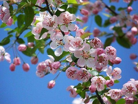Flowers Of Fuji Apples Apple Tree Blossoms Crabapple Tree Crab Apple
