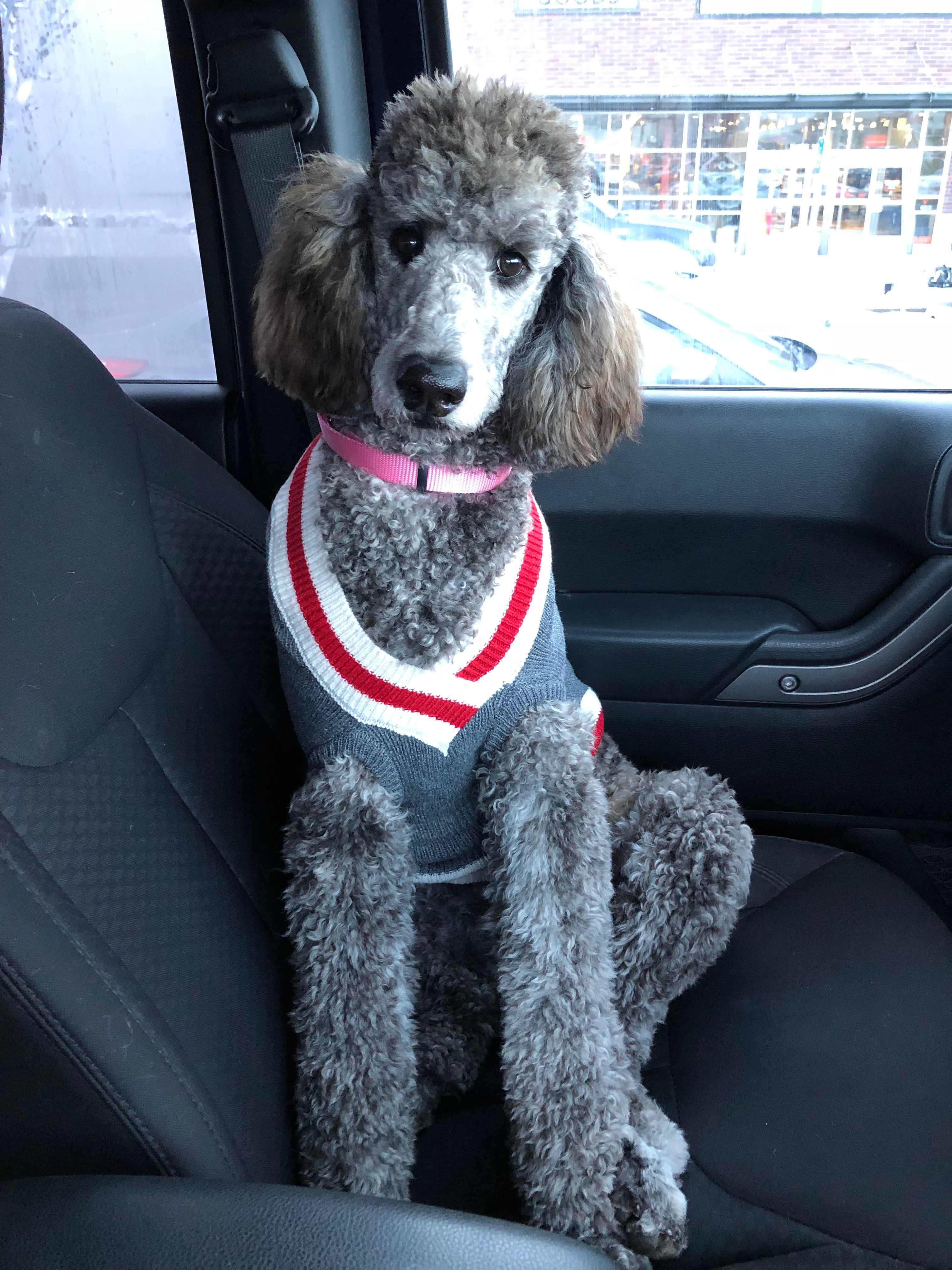 Stand Poodle. Zoey Poodle, Standard poodle, Cute dogs