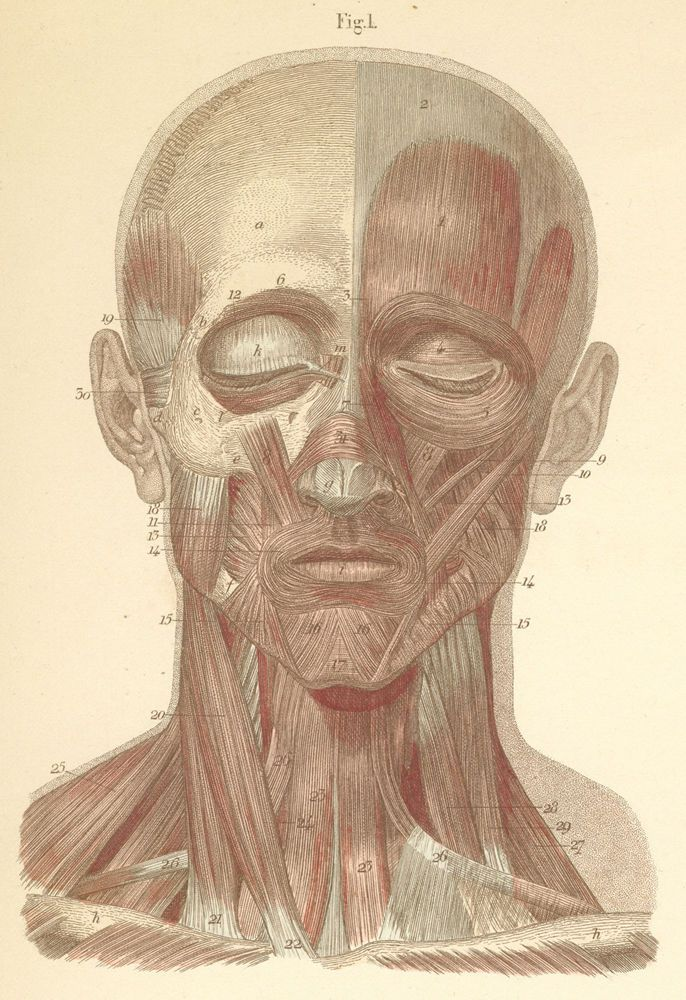 Superficial face and neck muscles, seen from the front | Massage ...