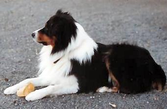Australian Shepherd Hundin Auf Dem Boden Liegend Australian Shepherd Hund Hunde Fotos Hundefotos
