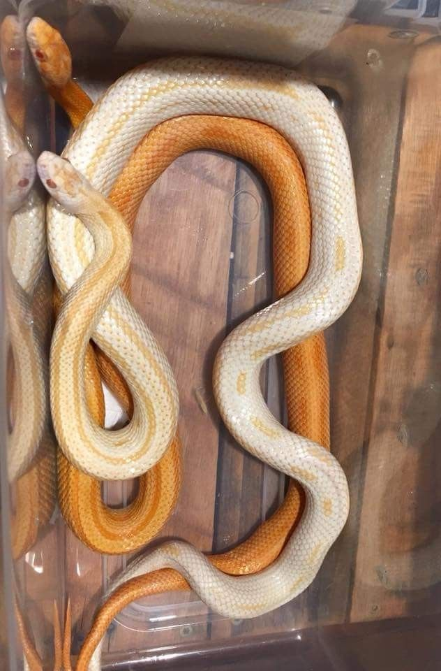 Pin by Muthsera ___ on Snake | Pinterest | Snake, Reptiles and ...