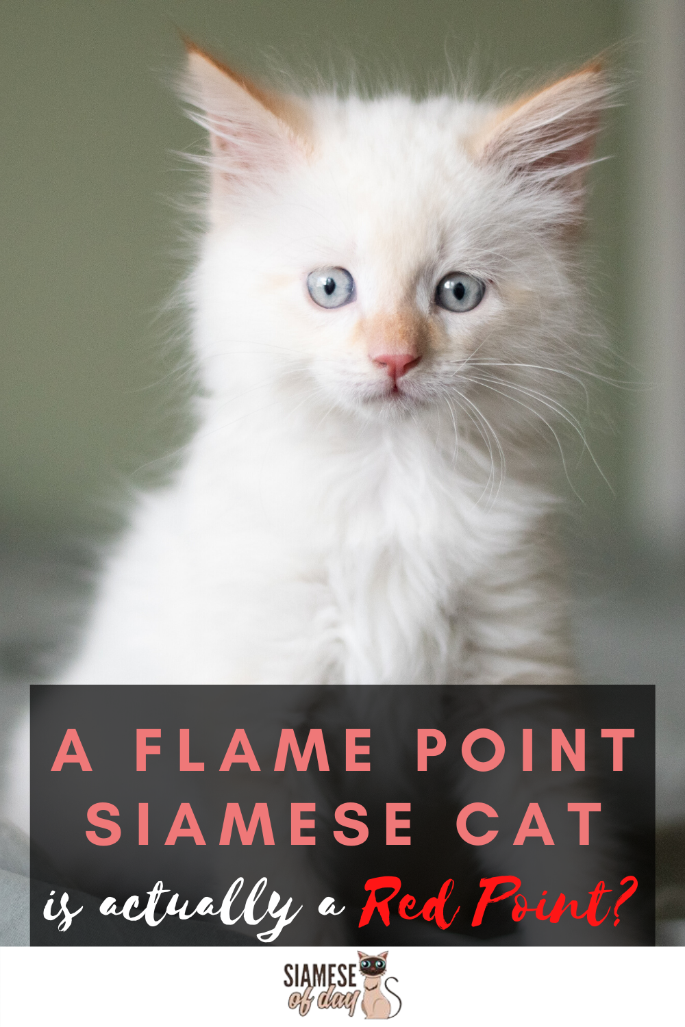 Red Flame Point Siamese Cats Siamese Of Day In 2020 Siamese Cats Cats Siamese