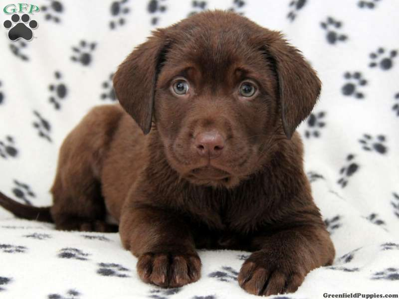 Wanda Chocolate Labrador Puppy For Sale In Ronks Pa Labrador Puppies For Sale Labrador Puppy Chocolate Puppies