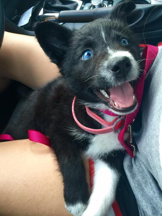Husky Border Collie Mix Cute Little Animals Puppies With Blue