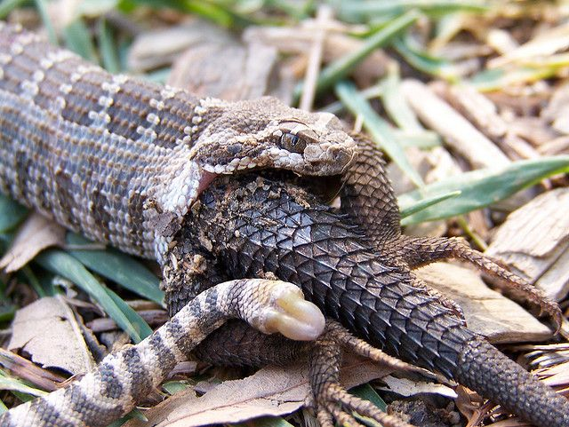 A rattlesnake unable to swallow a lizard and died trying. - i got the moral of the pic