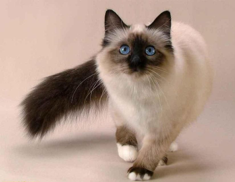 Pin By Bobby Schaefer Schaef Designs On Cute Animals Siamese Cats Facts Snowshoe Cat Balinese Cat