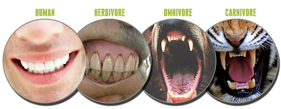 Omnivore or Herbivore? Carnivore teeth, Animal teeth