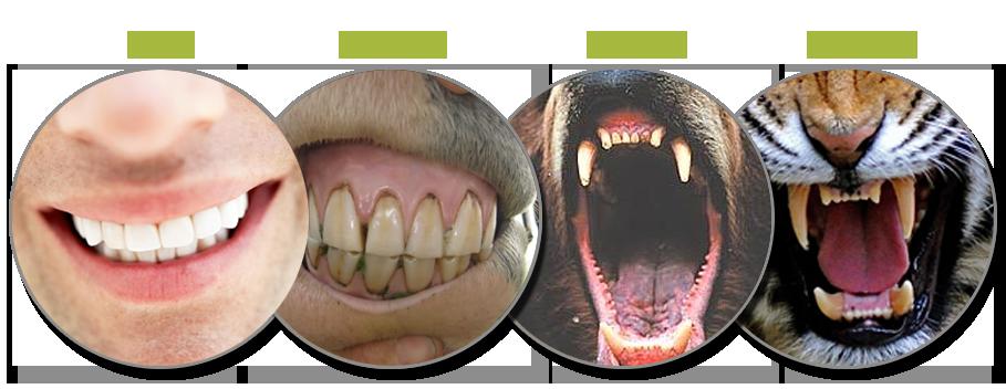 Omnivore or Herbivore? Carnivore teeth, Animal teeth