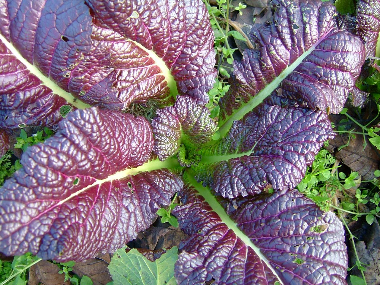 How To Grow Mustard Greens Giant Red Mustard Heirloom Seeds