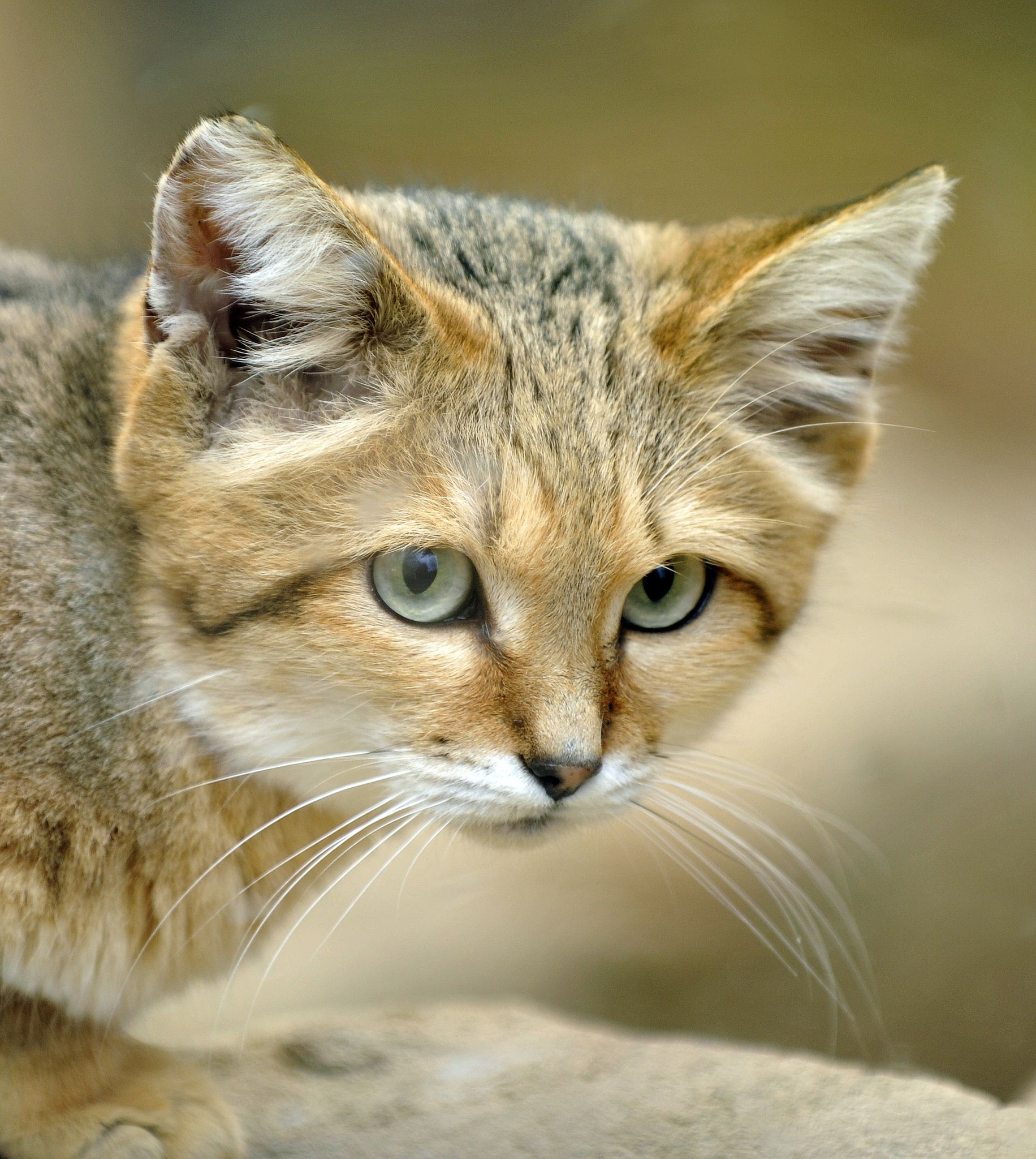 sand cat in 2020 Sand cat, Small wild cats, cats