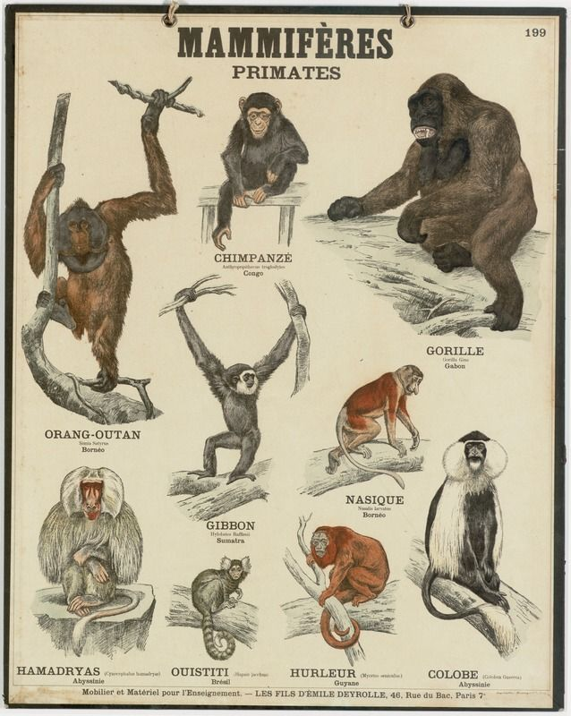 Primates Mammals Laminated Educational Science Classroom Chart Poster 24x36