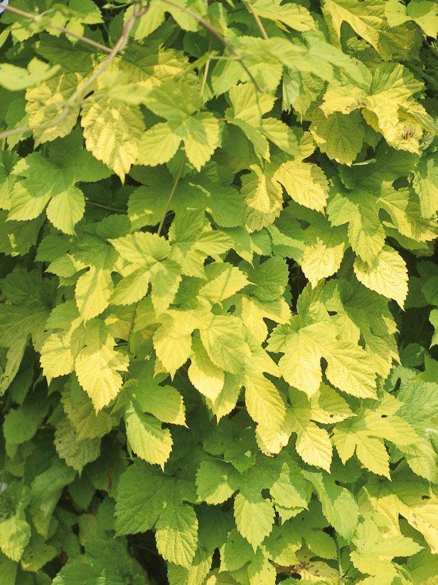 Fast-Growing Climbing Plants