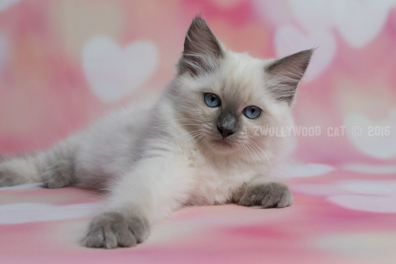 2016 Saphira A Zwollywood Cat 12 Weeks Old Ragdoll Kitten Blue Colourpoint Eragon Litter Katten