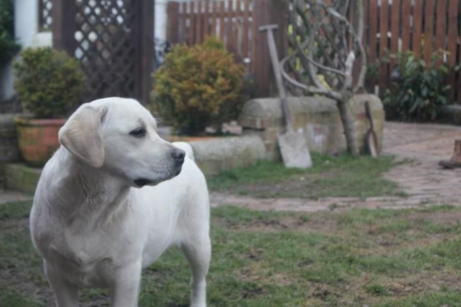 Classified Websites In Pakistan Beautiful High Class Labrador Male Non Ped For Sale Lahore Labrador Pets For Sale Animals