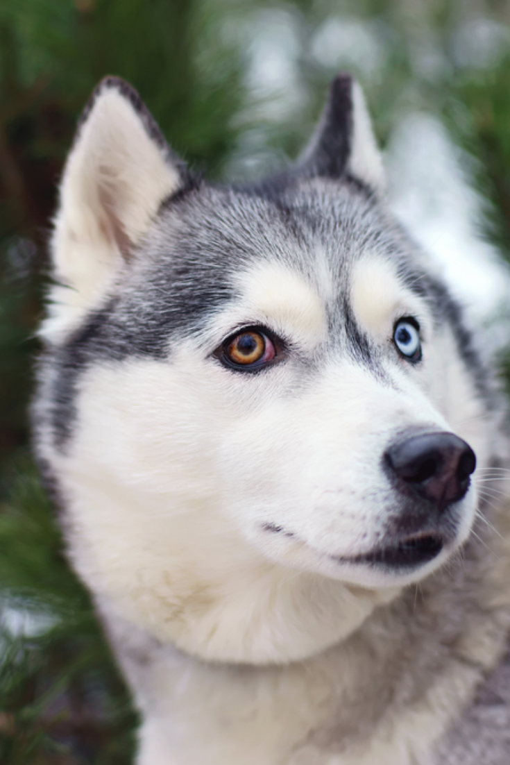 Siberian Husky Age Limit