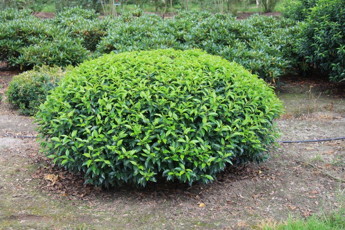prunus lusitanica 39 angustifolia 39 gardening pinterest. Black Bedroom Furniture Sets. Home Design Ideas