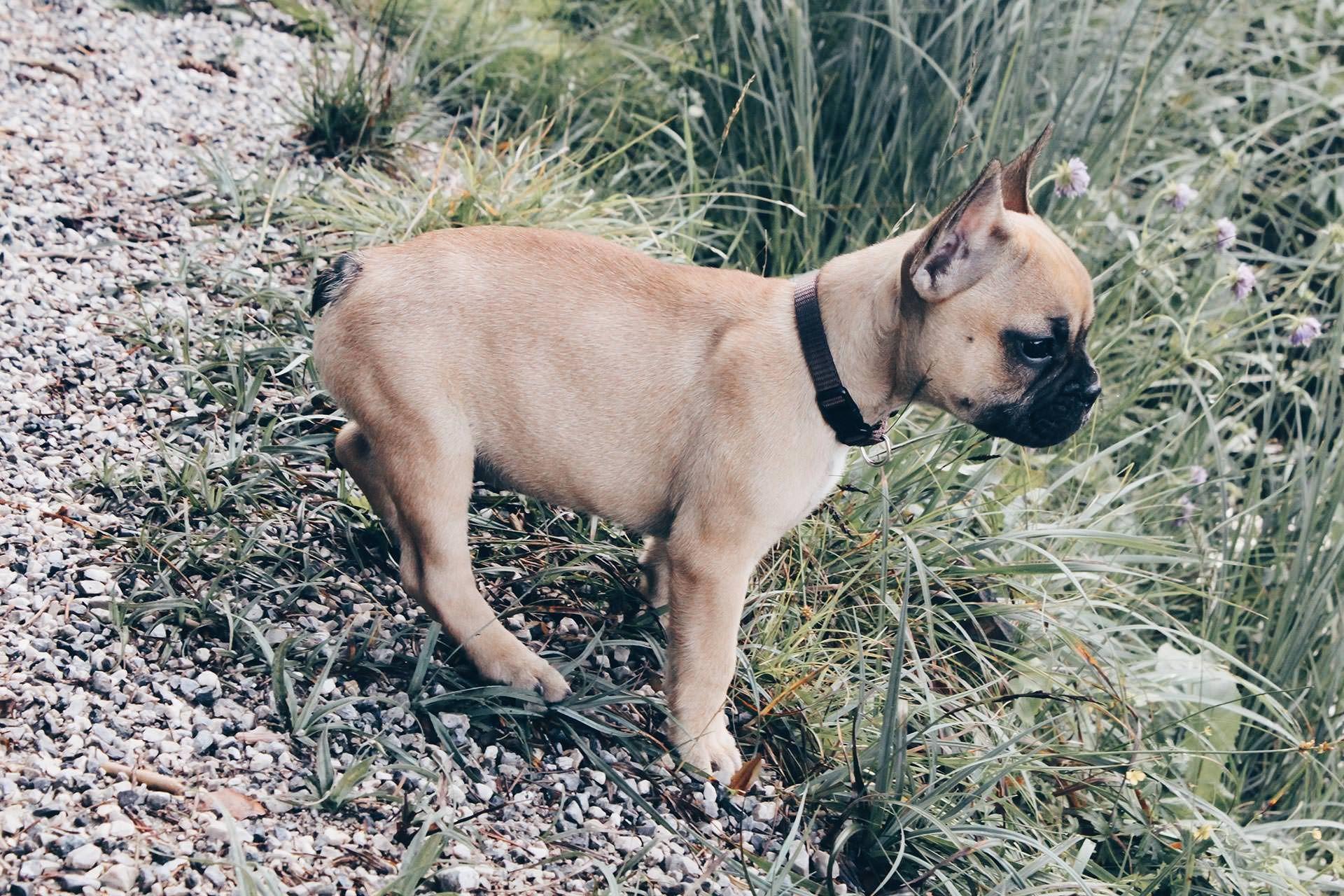 Wenn der eigene Hund sterben wird Hunde, Französische