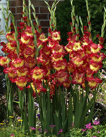 Wild And Tropical This Stereo Gladiolus Is As Flamboyant As They Come The Brilliant Sunshine Yellow Centers Are Surrou Bulb Flowers Gladiolus Bulbs Gladiolus
