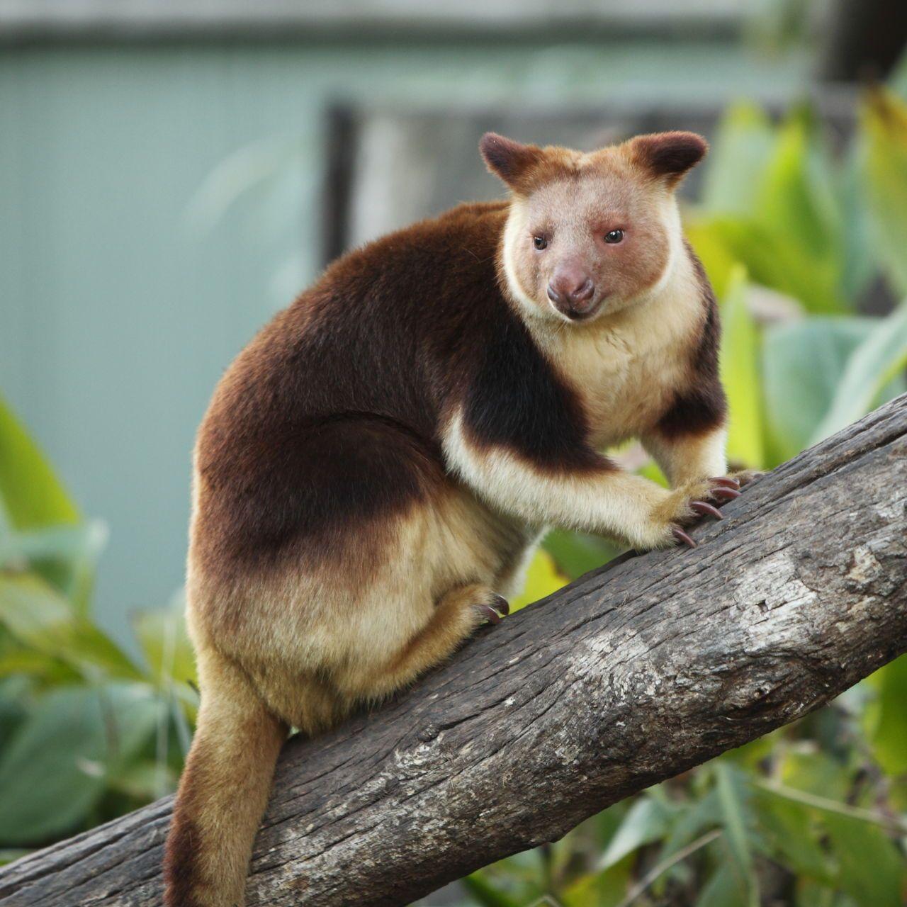 Tree Kangaroo Rainforest animals, Rainforest animals