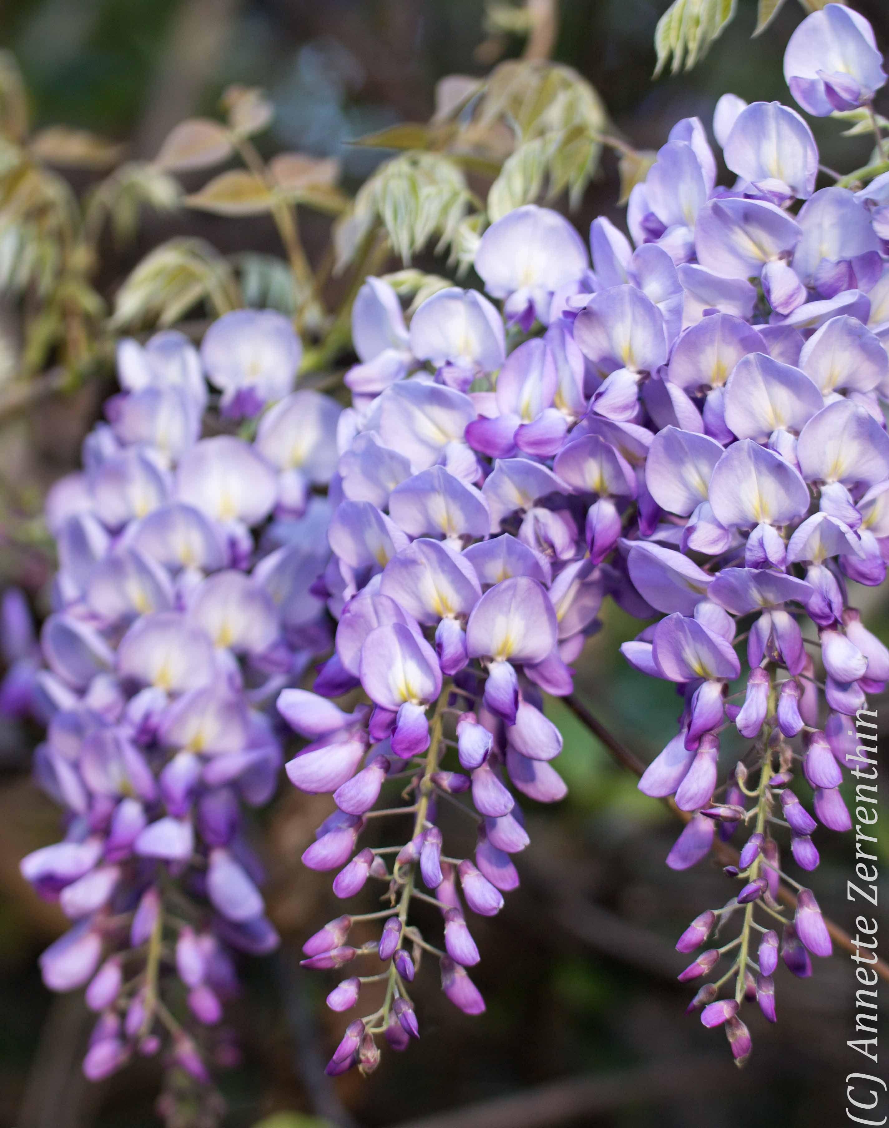 Wisteria Sinensis Australian Bush Flower Essence Recherche Google Flores