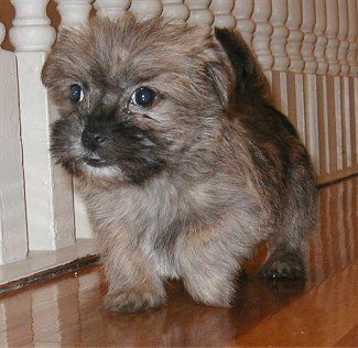 Care Tzu Dog Breed Information And Pictures Cairn Terrier Shih