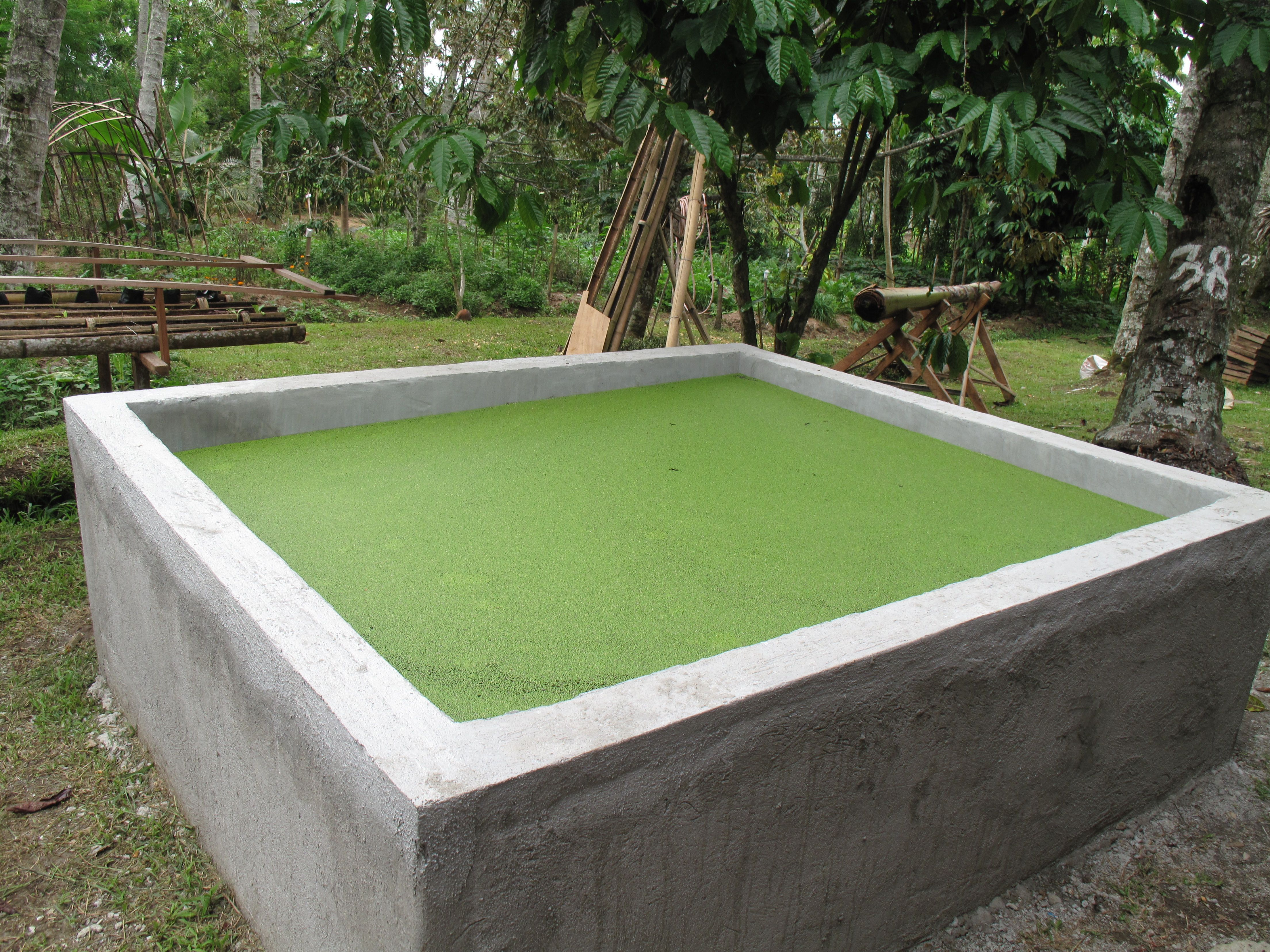 One Of Three Duckweed Ponds For Making Fish And Animal Feed