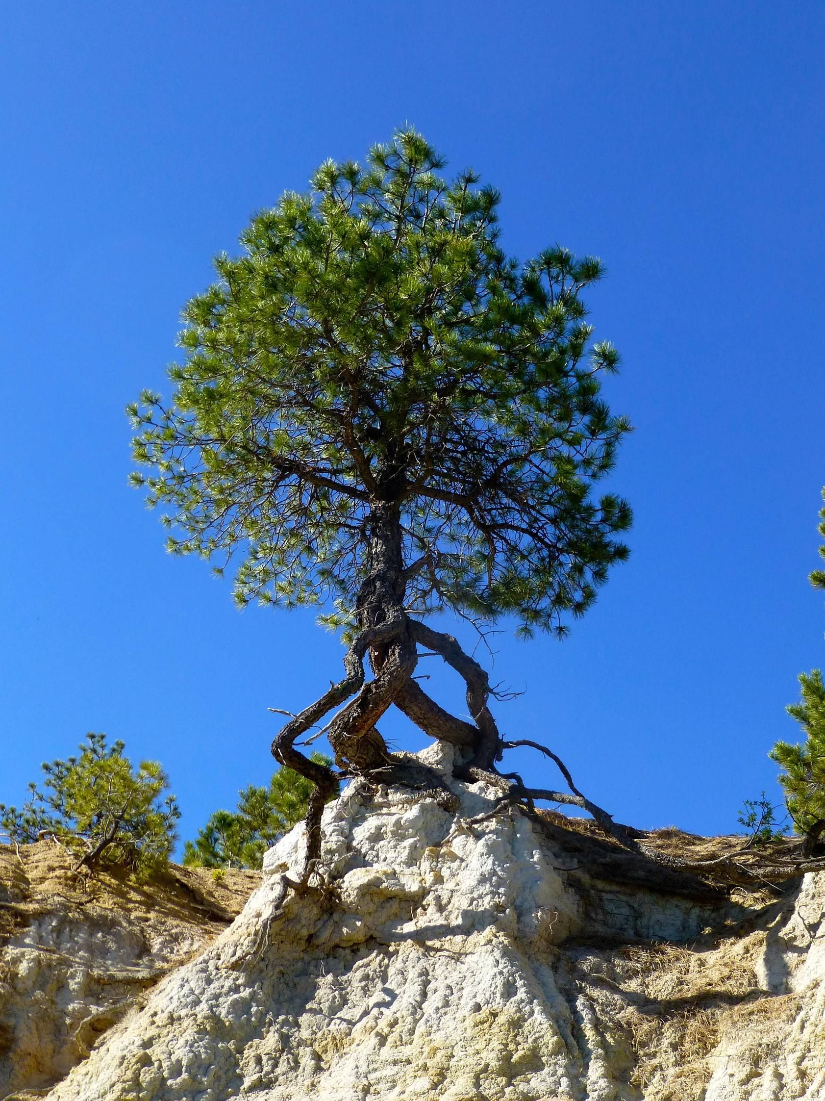 A natural Bonsai :)  A tree growing despite the ground eroding out from underneath it. - Imgur