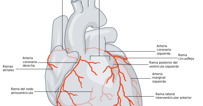 Resultado de imagen para anatomia de la coronaria derecha | arterias ...