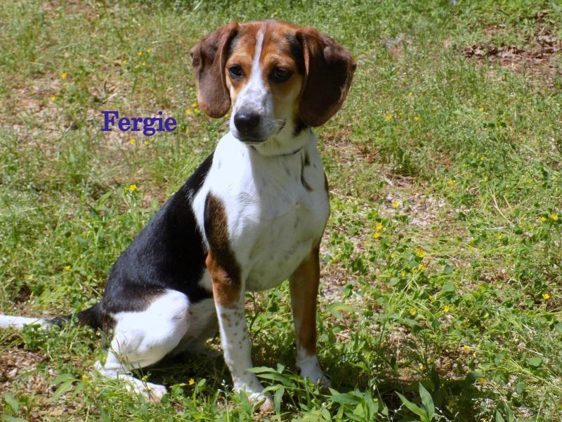 Adopt Fergie On Adoptable Beagle Beagle Dog Dogs