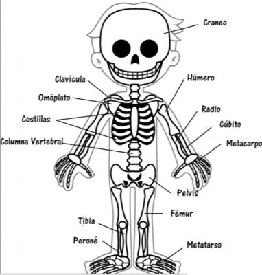 el esqueleto humano para niños con partes | Cuerpo humano ...