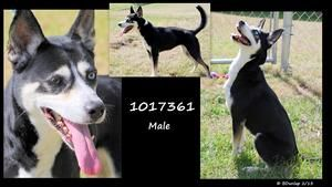Adopt 1017361 Ison On Adoption Siberian Husky Dog Animals